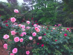 may pink roses