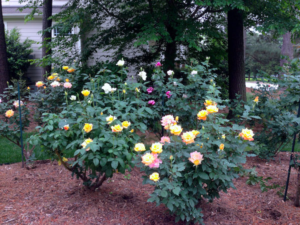 How to start a rose garden and early spring prep