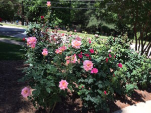 may roses in bloom