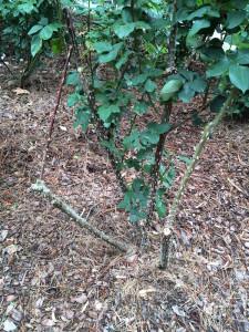 may roses need pruning