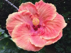 garden-hibiscus
