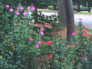 Rose gardening tips for fall bloom of hybrid tea and floribunda include watering, preparation for winter, and growing roses . Try these rose planting tips!