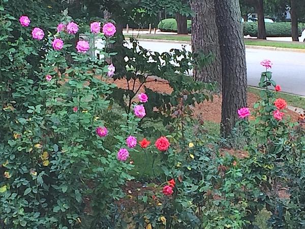 Rose gardening tips – joyful fall bloom September
