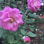 roses-fall - 4