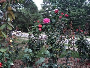 roses-fall - 5