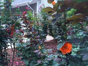 roses-fall - 7