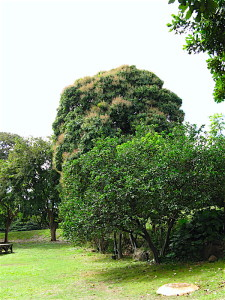 plantation-trees