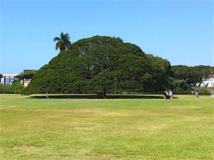 moanalua-hitachi-tree