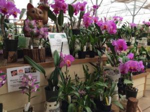 akatsuka-orchids