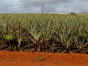 dole-pineapple