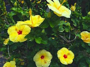 kona-hibiscus