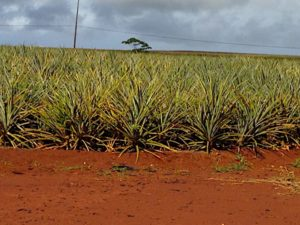 pineapple-fields