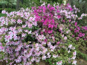 garden-azaleas