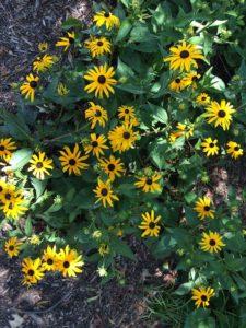 garden-black-eyed-susan