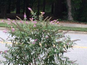 garden-butterfly-bush