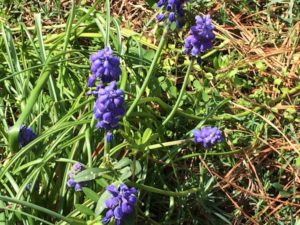 garden-grape-hyacinth