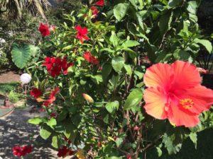 garden-hibiscus-mandevilla