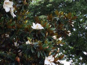 garden-magnolia