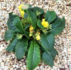 garden-primula