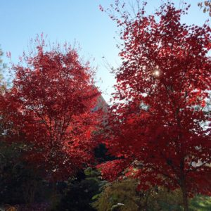 garden-red-maple