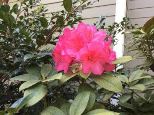garden-rhododendron
