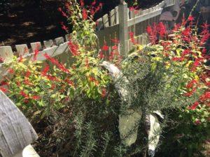 garden-salvia